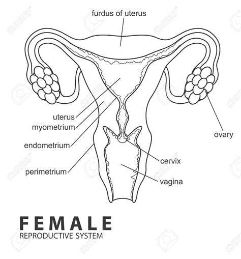 anatomy coloring book reproductive system reproductive system black and white reproductive
