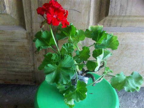 Tanaman Hias Bunga Geranium Pink tanaman geranium merah