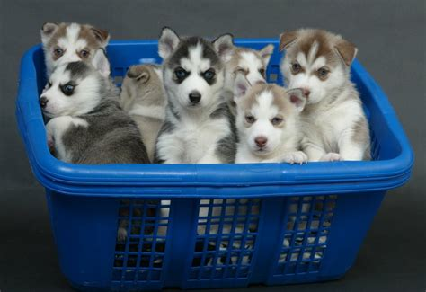 husky puppies for free siberian husky puppies for sale uae free classifieds muamat
