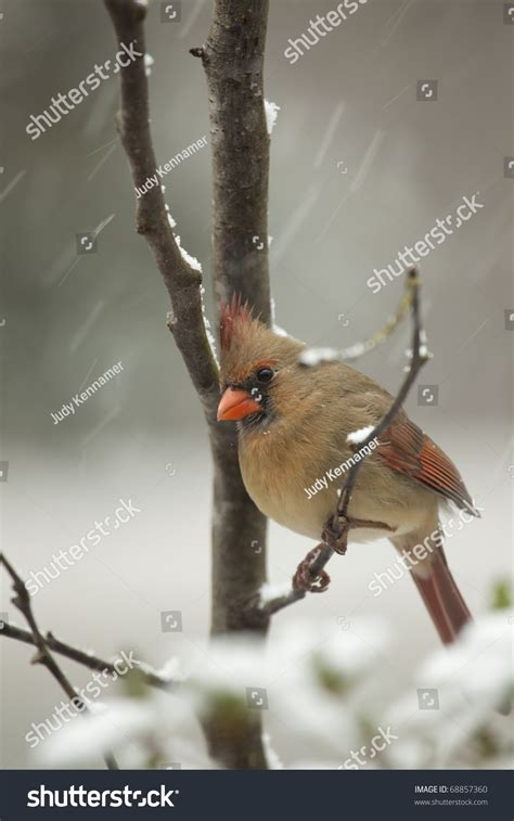 beautiful northern cardinal sitting in bare dogwood tree beautiful northern cardinal sitting in bare dogwood tree with snow falling stock photo