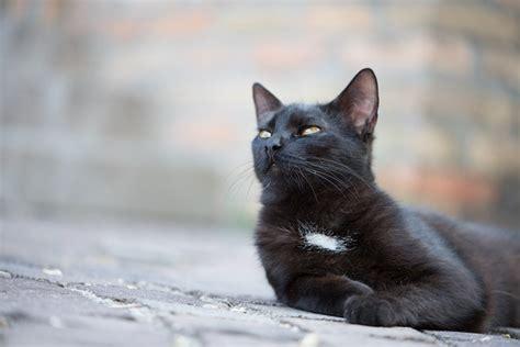imágenes gato negro im 193 genes de gatos negros 161 161 fotos que no te puedes perder