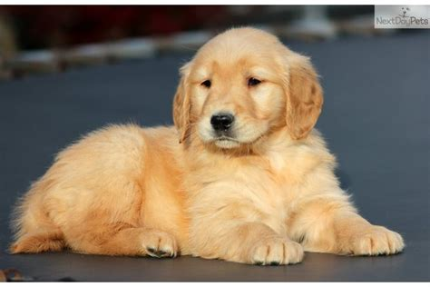 golden retriever puppies for sale in bc meet asia a golden retriever puppy for sale for 800