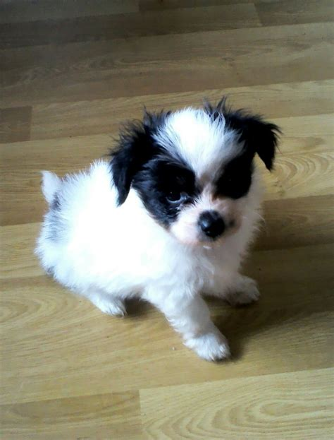 papillon puppies for sale 2 papillon puppies for sale wishaw lanarkshire pets4homes