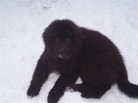 newfoundland puppies wi file newfoundland puppy snow jpg wikimedia commons