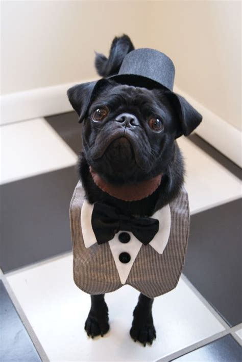 in black pug costume a pug dressed as abraham lincoln bulldogs puppys gentleman and