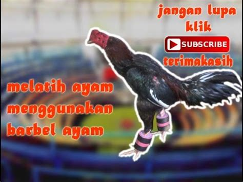 Barbel Kaki Ayam Melatih Ayam Dengan Barbel Ayam