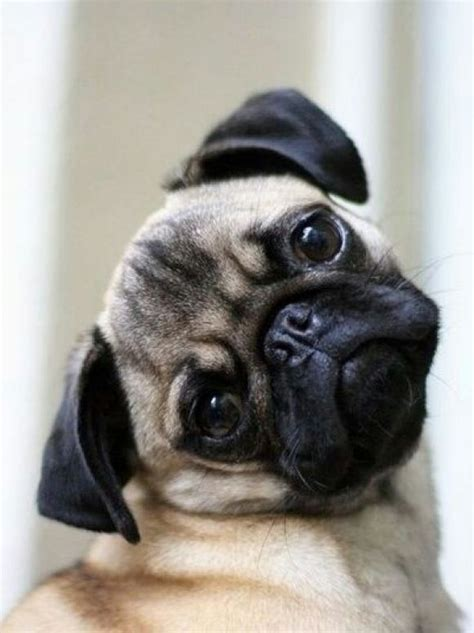 cutest pug 1000 ideas about pugs on pug pug puppies and pug puppies