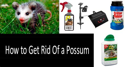 how to get rid of a possum in backyard how to get rid of possums five ways and top 7 repellents