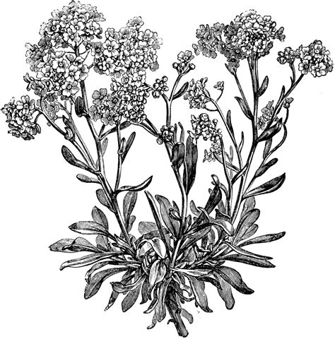 alyssum saxatile flowers clipart etc