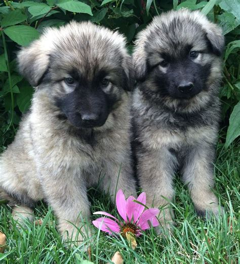 shiloh shepherd puppies for sale 1000 ideas about shiloh shepherd on german shepherds shepherd dogs and