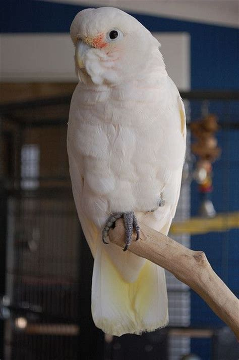 goffin cockatoo rescue in sw florida 71 best images about my favorite parrot goffin cockatoo on adoption feathers and