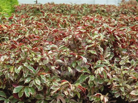 excoecaria cochinchinensis firestorm variegated blindness tree information photos