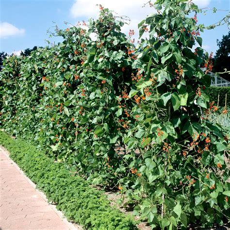 Quand Semer Les Haricots Verts by Quand Semer Les Haricots Verts Quand Et Comment Planter