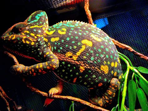 kuching iguana club veiled chameleon non receptive