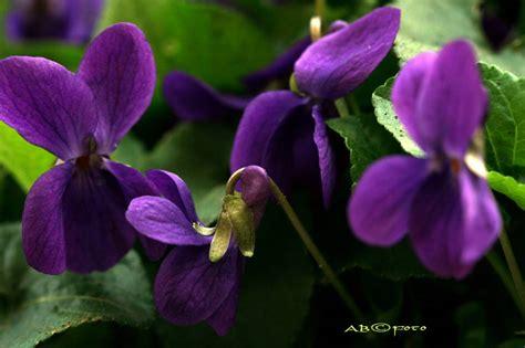 fiore viole calendimaggio la pagina di nonnatuttua
