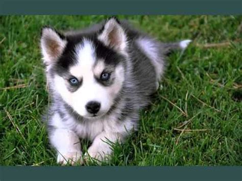 miniature husky pomeranian mix set of useful picture ideas of pomeranian husky pomeranian husky