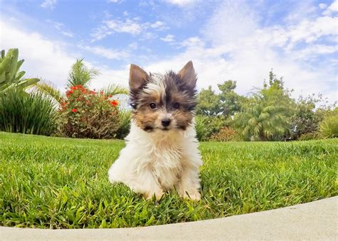yorkie puppies for sale fresno ca terrier for sale fresno ca dogs in our photo