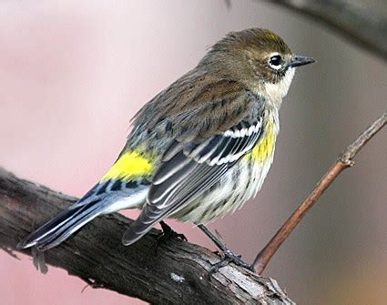 yellow rumped warbler, identification, all about birds