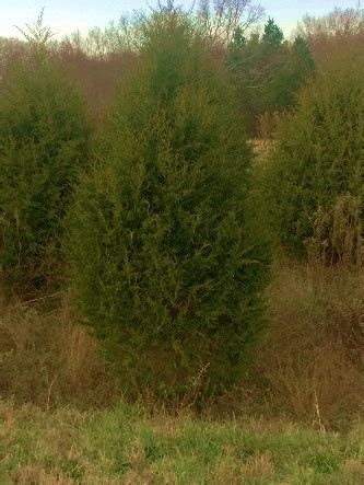 cut your own christmas tree at land between lakes
