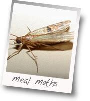 Keep Moths Out Of Pantry by Moths Invaded Our Pantry Bugs Like Real Food 100