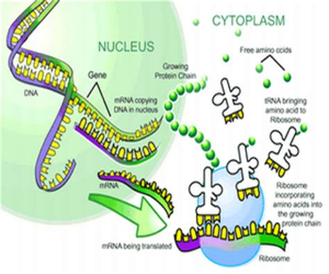 6 protein synthesis steps pangburn s posts the important thing in science is not