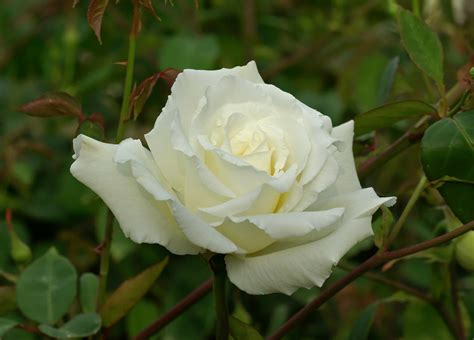 rose can where can i find white knockout rose