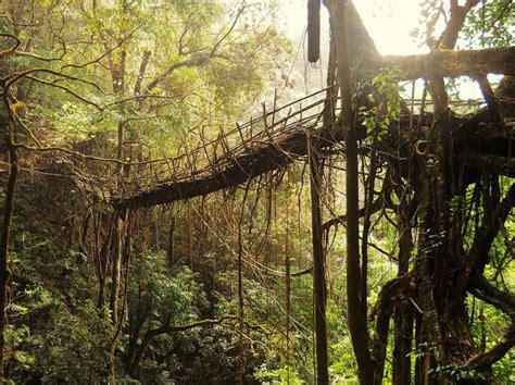living bridges nature s marvel living root bridges of cherrapunji