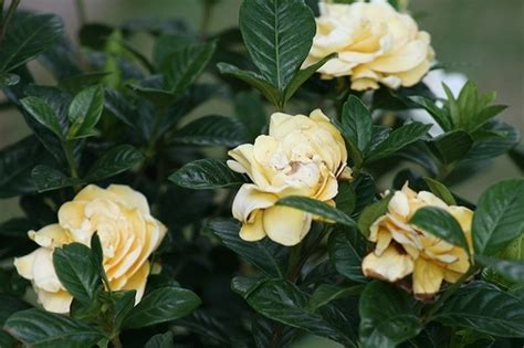 Gardenia Bush Care Care For Gardenia Plants