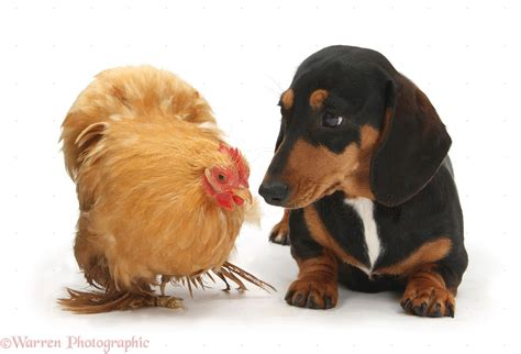 tri color dachshund tricolour dachshund and chicken photo wp26663