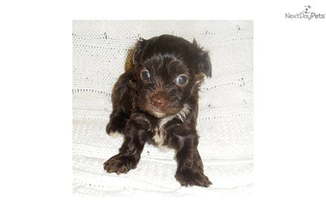 chocolate yorkie poo for sale meet abby a yorkiepoo yorkie poo puppy for sale for 450 chocolate