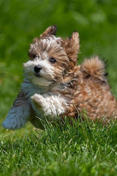 how big havanese dogs get 85 best images about havanese and cotton de tulear on