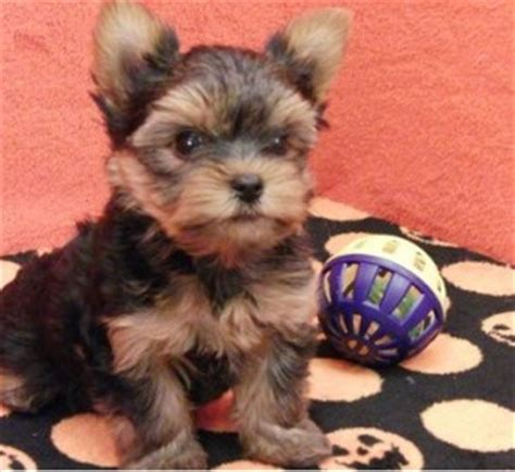 teacup yorkie rescue ct dogs cheshire ct free classified ads