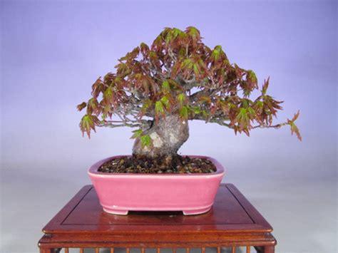 Bonsai Pink when was the last time you saw a pink bonsai pot bonsai bark