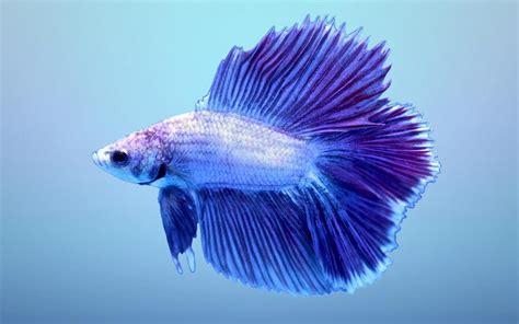 halfmoon betta wallpaper    blue double tail