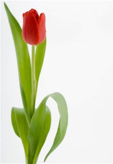 la tulipe image gallery la tulipe