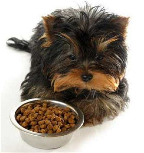 do puppies need puppy food best food for yorkies or yorkie puppies the right way to feed your yorkie yorkiemag