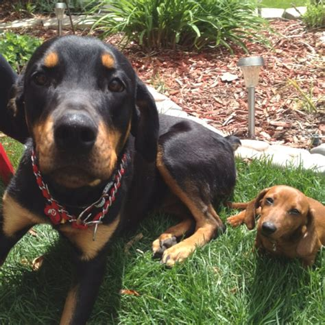 doberman and rottweiler mix rottweiler doberman mix badass cuteness s bestfriend pintere