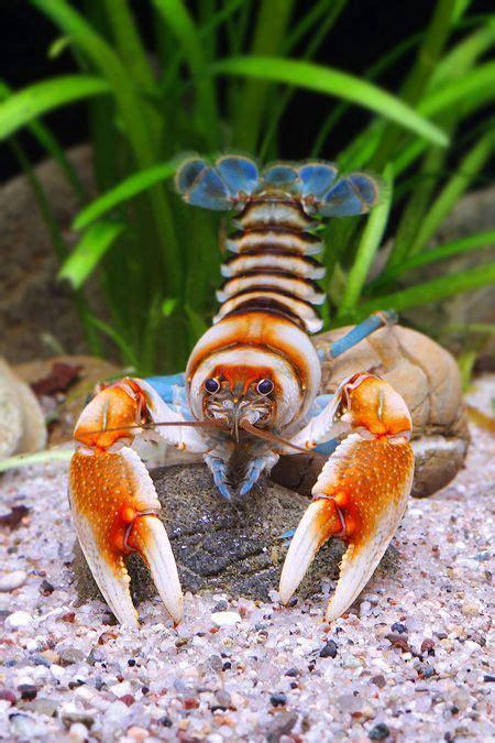 aquascape lobster depression crayfish crayfish pinterest aquariums
