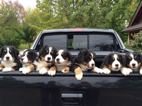 bernese mountain puppies for sale near perry iowa akc marketplace bernese mountain puppies for sale near aplington iowa akc marketplace