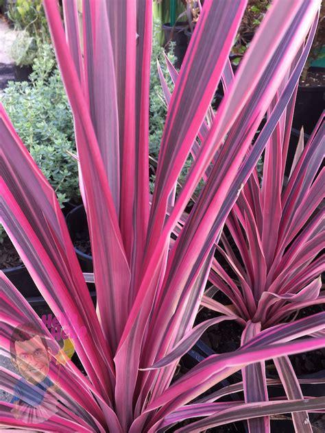 cordyline pink passion  pot   plants