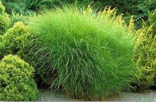ornamental grasses plant of the month january timberpine unplugged