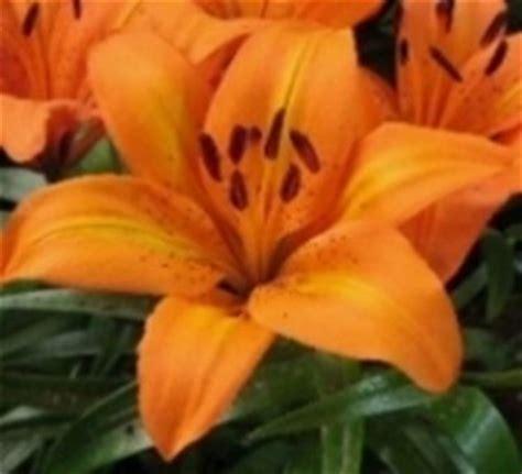 fiore giglio significato significato giglio significato dei fiori conoscere il