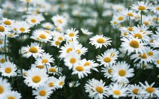 white daisy wallpaper colors wallpaper 34692080 fanpop