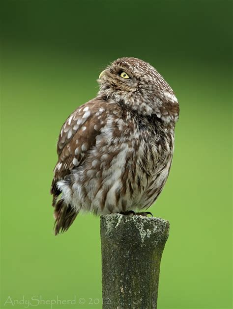 andy shepherd wildlife photography little owl