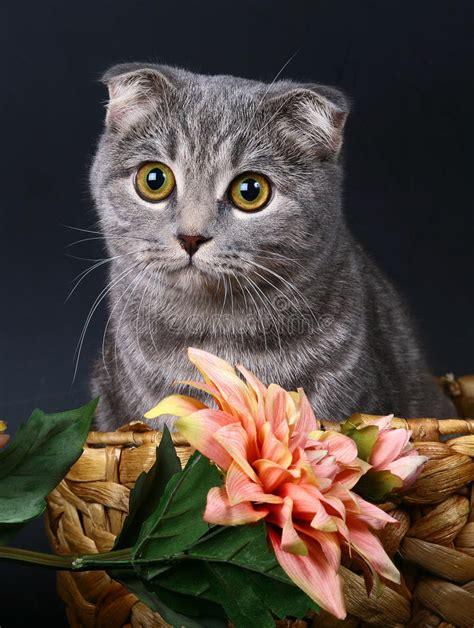 afbeelding bloemen met dier schotse vouwenkat in een mand met bloemen stock foto