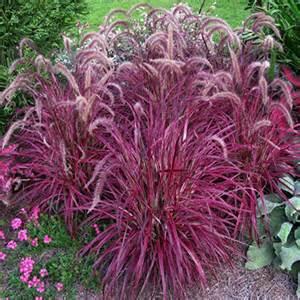 pennisetum fireworks from santa rosa gardens variegated purple fountain grass