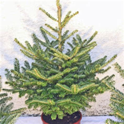 real christmas trees with roots potted christmas trees