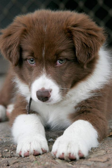 border collie puppies california best 25 border collie puppies ideas on collie puppies border collie mix