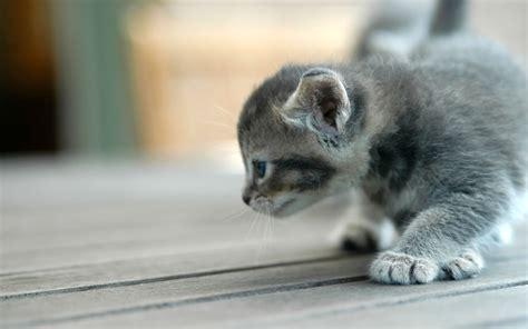 high resolution wallpaper of cat cute kitten hd cat wallpapers kittens widescreen