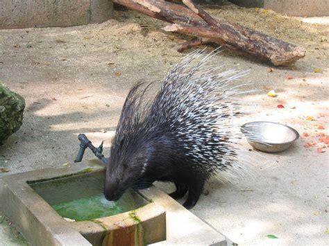 henry vilas zoo lights hystrix porcupine wikipedia